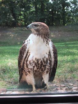 photo of hawk