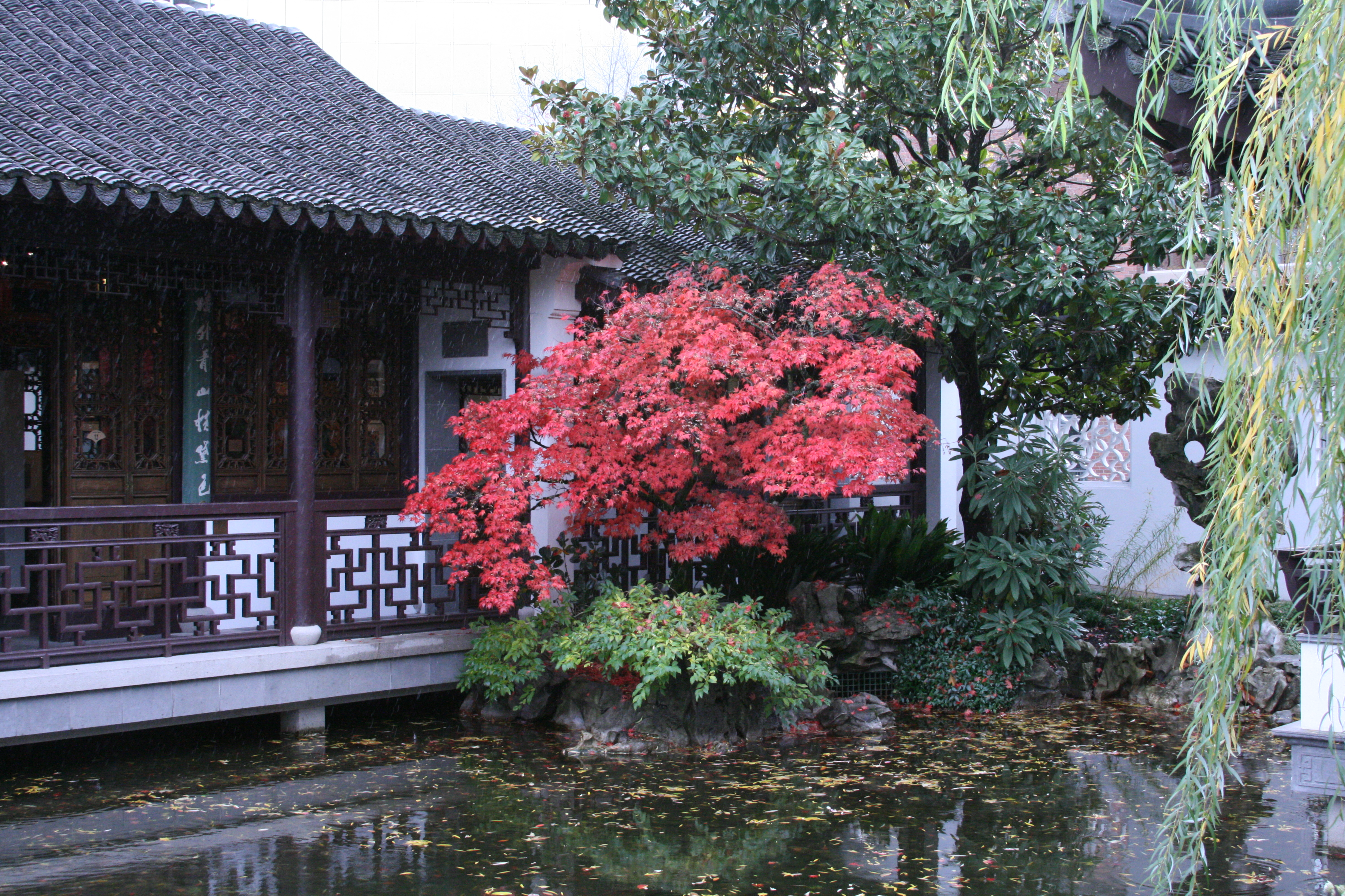 Maple in Chinese Garden in the Rain